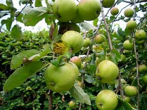 Apple Tree Pictures
