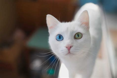 cats cat eye eyes different colors colored facts rates services mesmerizing fun animal springbrook