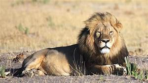 Borne Free Lyon : cecil the lion 39 s killer should be extradited says born free ceo will travers british columbia ~ Medecine-chirurgie-esthetiques.com Avis de Voitures