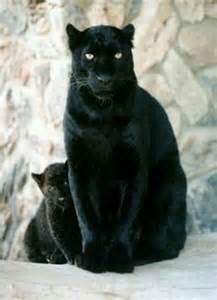 Mother and Baby Black Panther