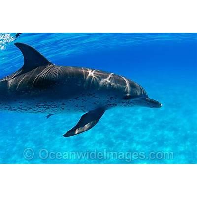 Atlantic Spotted Dolphinwww.pixshark.com - Images
