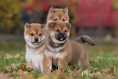 Shiba Inu Puppies Dog Know Things Sunset