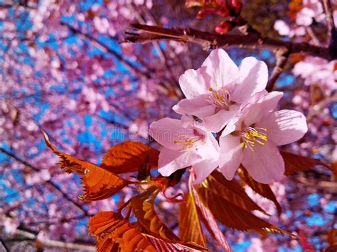 Close Up Branch Full Of Japanese Cherry Blossoms 2 Stock