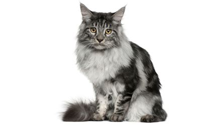 do maine coon cats shed their mane maine coon cat breed information pictures