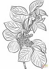 Ivy Poison Coloring Pages Leaves Drawing Rhus Plant Flowers Toxicodendron Printable Leaf Getdrawings Common Paper Games Supercoloring sketch template