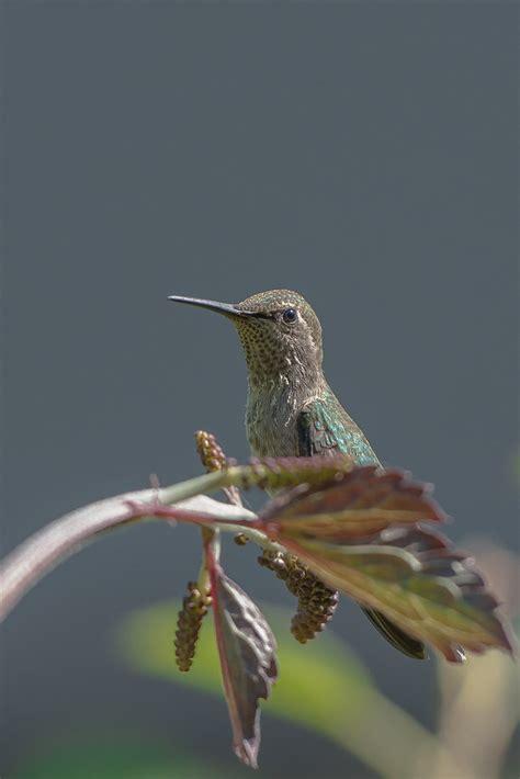 Female Annas Hummingbird   Portrait of a female Annas ...