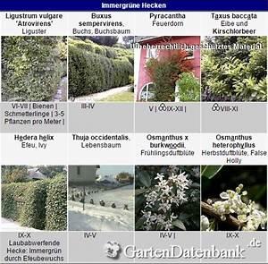 Kletterpflanzen Immergrün Winterhart : heckenpflanzen immergr n winterhart schnellwachsend ~ Michelbontemps.com Haus und Dekorationen