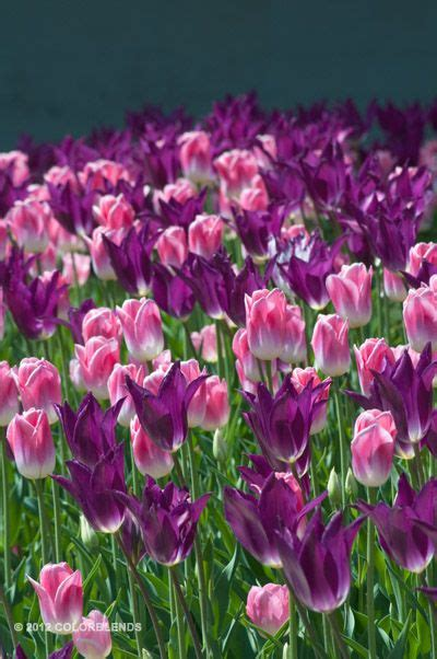 17 best images about tulips on banja luka