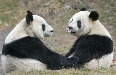 velike pande zasticene vrste zivotinja