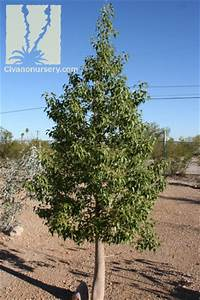 Bottle Tree Brachychiton Populneus Civano Nursery