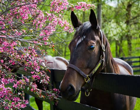 horse thoroughbred breeds most popular england racing 18th century breed common kentucky rural known its farms developed 17th