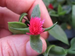 Wieviel Frost Verträgt Die Obstblüte : die aptenia cordifolia eiskraut zum essen r hlemann 39 s blog ~ Frokenaadalensverden.com Haus und Dekorationen