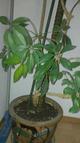 zimmerpflanze bestimmen wer kennt sich aus pflanzen