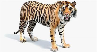 Tiger 3d Cat Rigged Sumatran Turbosquid Models