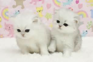 teacup cats for teacup kittens