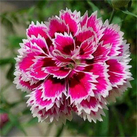 fiori garofano semi di garofano cinese doppio mix mondo piante