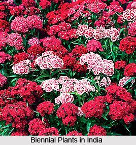 biennial plants  india