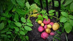 How To Plant  Grow   U0026 Harvest Potatoes Organically From Start To Finish