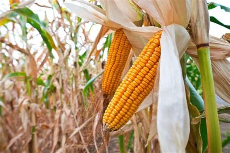 A new study reveals how the cuticle protects maize leaves ...