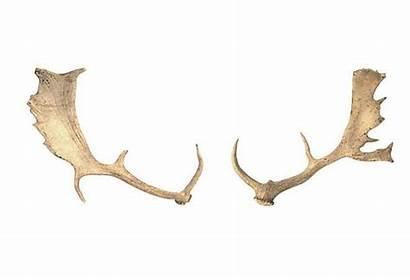 Kings Deer Lane Market Antlers Fallow Onekingslane