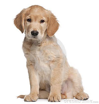 golden retriever puppy  months  sitting stock