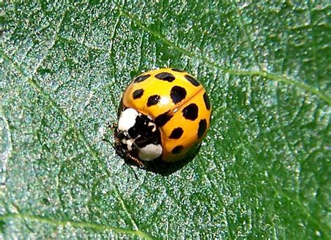 what color is a ladybug temperate climate permaculture beneficial insects ladybugs