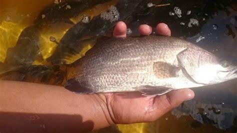 nervous prevention batam grouper vnn bbl necrosis viral virus role fish