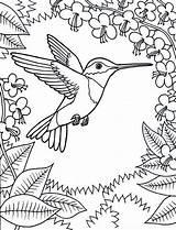 Coloring Pages Hummingbird Adult Bird Hummingbirds Flowers Humming Kidsplaycolor sketch template