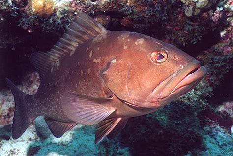 grouper underwater coral swimming similar