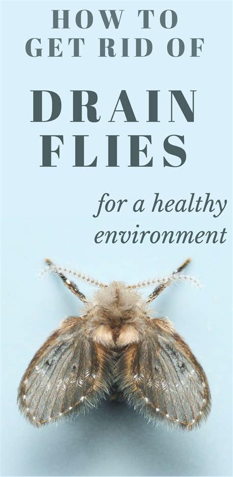 rid  drain flies   healthy environment