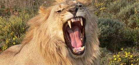 10 Interesting Facts About Lions You Didn't Know