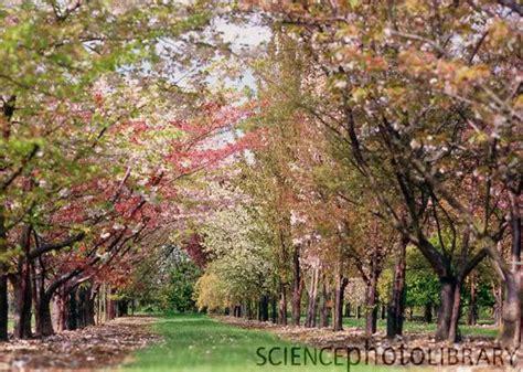 fanda classiclit scene     cherry orchard