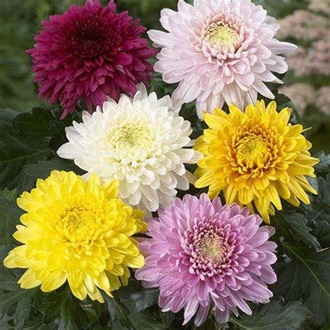 chrysanthemum garden bloom collection yougarden