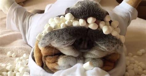 dog  marshmallows stuffed   mouth