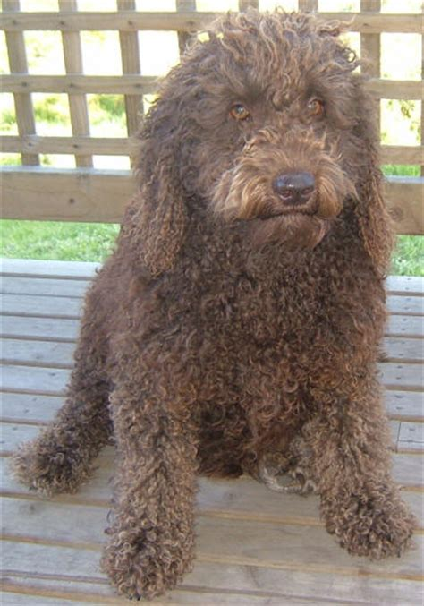 labradoodle pictures pictures  labradoodles