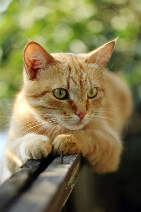 images  marmalade cats  pinterest peeping