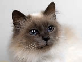 siamese cats cat picture and information
