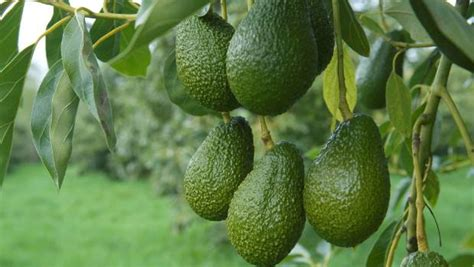 hass avocado growing guide
