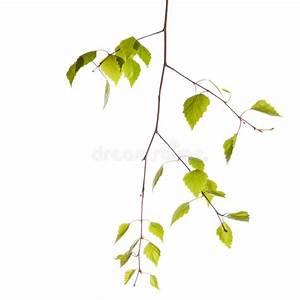 Branche De Bouleau : branche de bouleau photo stock image du leafage buisson ~ Melissatoandfro.com Idées de Décoration