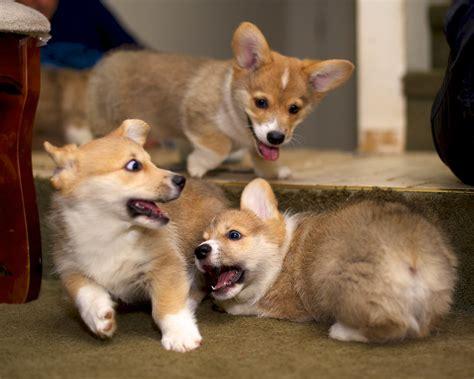 Corgi Puppies At Ten Weeks  Daniel Stockman Flickr