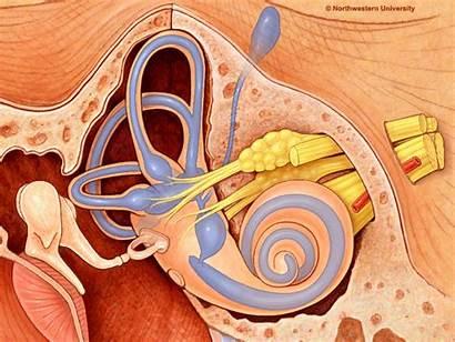 Animated Anatomy Cochlea Pineal Gland Ear Massage