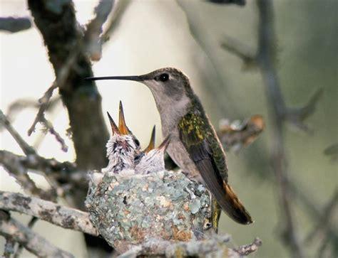top 42 ideas about hummingbird nests on pinterest jigsaw