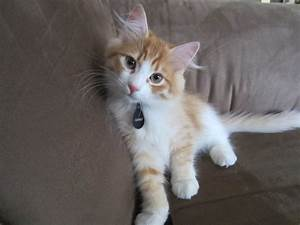 Clancy - Our Trick-Performing Hypoallergenic Siberian ...