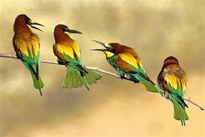 Birds Bee Eater Wallpapers Desktop Sparrow Rainbow
