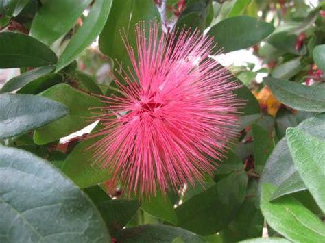 pink powder puff plant united states botanic garden