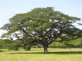 tree large guango plants of jamaica shade trees