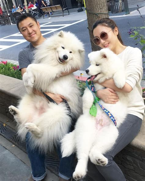 Sam Babies Cutesamson Puppies Dogs Samoyed Dogs