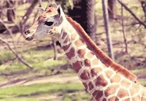 giraffe gif on Tumblr