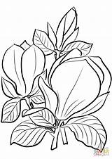 Magnolia Coloring Saucer Printable Supercoloring Drawing Innen Mentve Categories sketch template