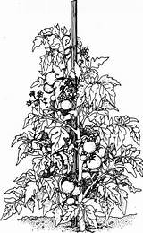 Tomato Plant Plants Colouring Drawing Cliparts Vine Pages Sketch Vegetable Supports Coloring Fruit Drawings Stake Sprawl Let Them Grovida Lot sketch template